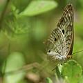 Anartia Butterfly In Wonderland  by Olga Hamilton
