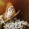 Anartia Jatrophae - White Peacock Butterfly  by Saija Lehtonen