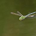 Anax In Flight by Bob Kemp
