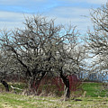 Ancient Apples Budding Out by William Tasker