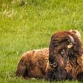 Ancient Bison by Rikk Flohr