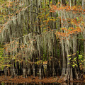 Ancient Cypress Forest by Iris Greenwell