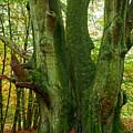 Ancient German Oak Trees In Sababurg by Heiko Koehrer-Wagner