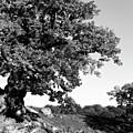 Ancient Oak, Bradgate Park by John Edwards