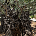 Ancient Olive Tree by Mae Wertz