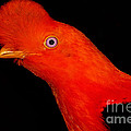 Andean Cock Of The Rock by Dant� Fenolio