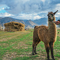 Andean Llama by Alexandre Rotenberg