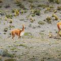 Andean Llamas by Alexandre Rotenberg