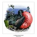 Andrews Frigatebird Fregata Andrewsi 3 by Owen Bell