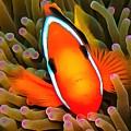 Anemone Fish by Sergey Lukashin