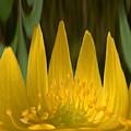 Anemone Flames by Jouko Lehto