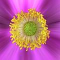 Anemone Hupehensis 'hadspen by John Edwards