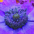 Anemone by Kathy Moll