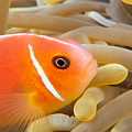 Anemonefish by Dave Fleetham - Printscapes