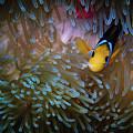 Anemonefish by Doug Sturgess