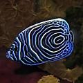 Angel Fish by Sergey Lukashin