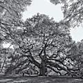 Angel Oak by Dave Stegmeir