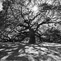 Angel Oak Starbusrt by Nancy Dunivin
