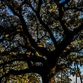 Angel Oak Tree by Angela Sherrer
