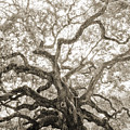 Angel Oak Tree Charleston Sc by Dustin K Ryan