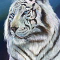 Angel The White Tiger by Sherry Shipley