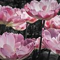 Angelique Peony Tulips by Teresa Mucha