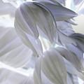 Angels Wings by Carol Komassa