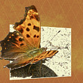 Anglewing Butterfly by Mother Nature