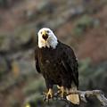 Angry Bald Eagle by Linda Weyers