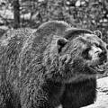 Angry Bear Black And White by Dan Sproul
