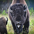 Angry Bison by Greg Norrell