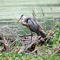 Angry Heron by Teresa Blanton