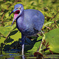 Angry Little Blue Heron - Egretta Caerulea by Bill And Deb Hayes