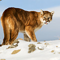 Angry Mountain Lion by Scott Read