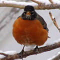 Angry Robin by Lisa Jayne Konopka