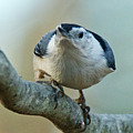 Angry White Breasted Nuthatch by Michael Peychich