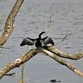 Anhinga And Alligator by Al Powell Photography USA