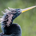 Anhinga - Like My Doo by Tim Kathka