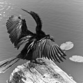 Anhinga On Lake by Carolyn Marshall