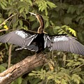 Anhinga Sunning On A Log by NaturesPix