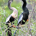 Anhingas Courting by Alan Lenk