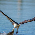 Animal - Bird - Osprey Catching A Fish by CJ Park