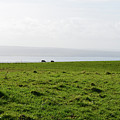 Animals Grazing In A Field Along The Cliffs Of Moher by DejaVu Designs