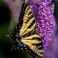 Anise Swallowtail by J Allen