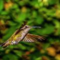 Anna Hummingbird  In Flight 2 by Donald Pash