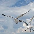 Anna Maria Laughing Gulls by Judy  Waller