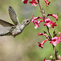 Anna's Hummingbird And The Penstemon  by Saija Lehtonen
