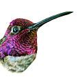 Anna's Hummingbird by Logan Parsons