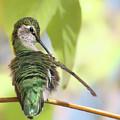 Anna's Hummingbird - Preening by Nikolyn McDonald