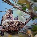 Anna's Hummingbirds by Nikolyn McDonald